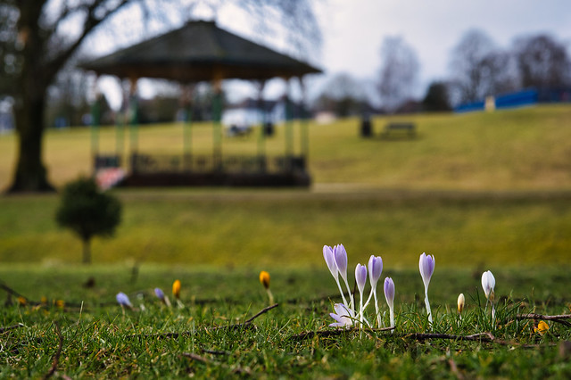Strathaven Crocus in the park