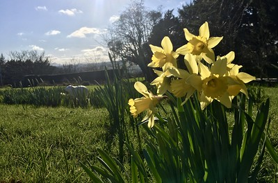A too-dark photo of some daffodils in a green garden with blue sky over the distant horizon