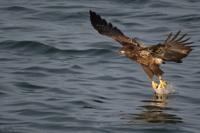 Immature Eagle Plucks Fish from Water!