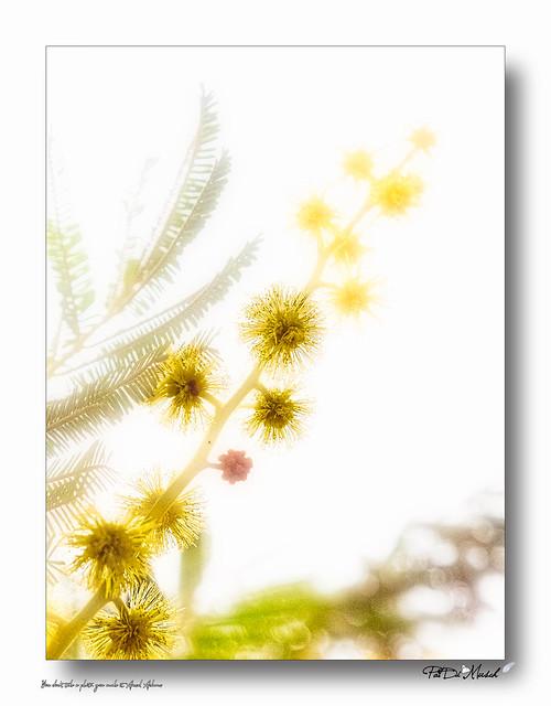 Mimosa 21.1 S08_26.02_P2260021_D