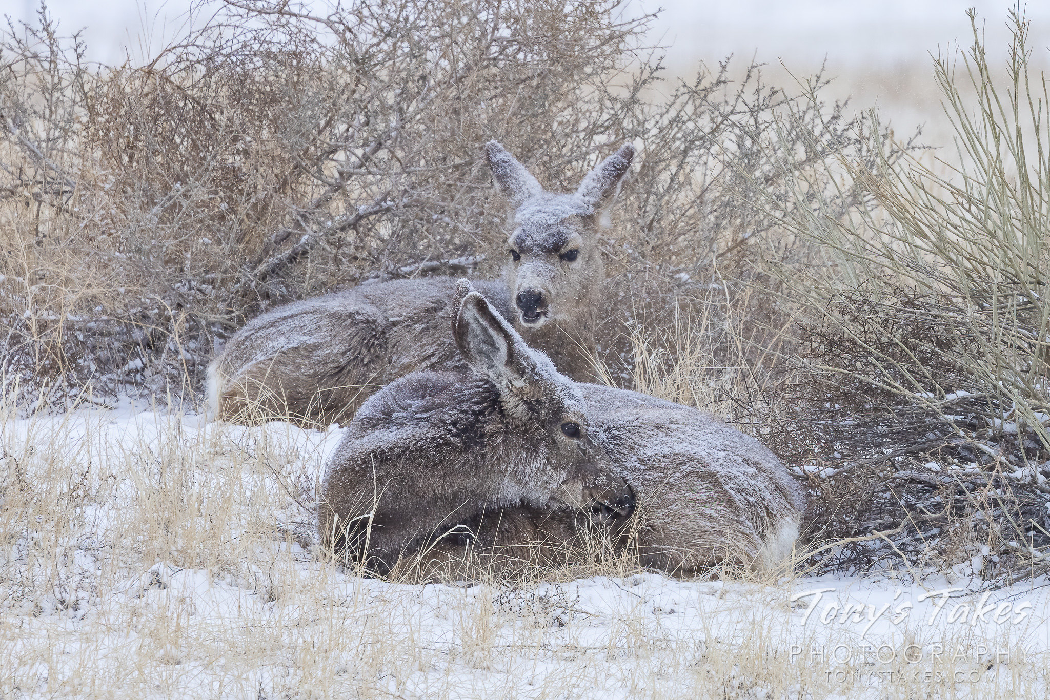 Mule deer does hunker down against the cold and snow