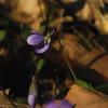 Violetes, a desdir!