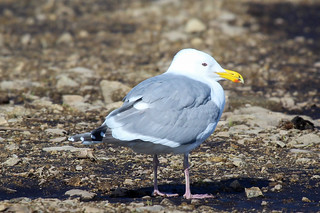 Herring Gull Question | by dmcmillan39