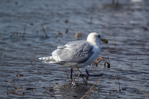 Glaucous-winged Gull Question-3 | by dmcmillan39