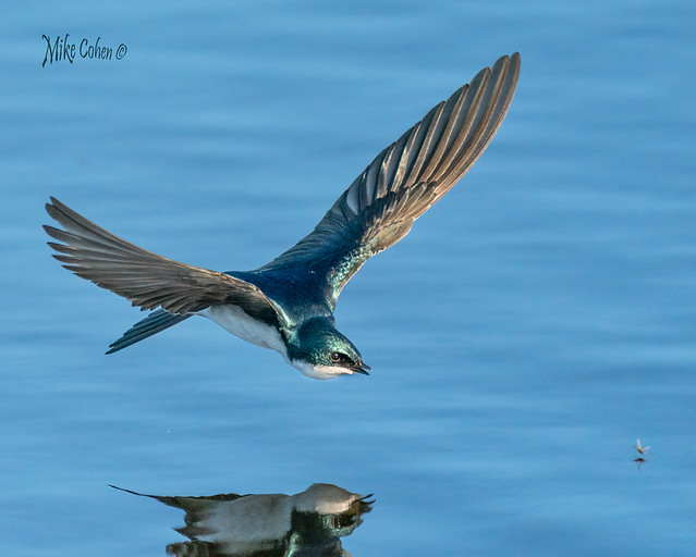 Tree Swallow in Pursuit