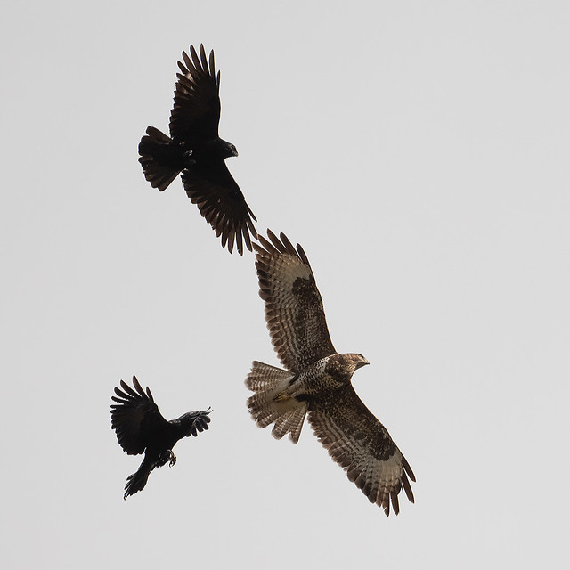 Carrion Crows mobbing Buzzard