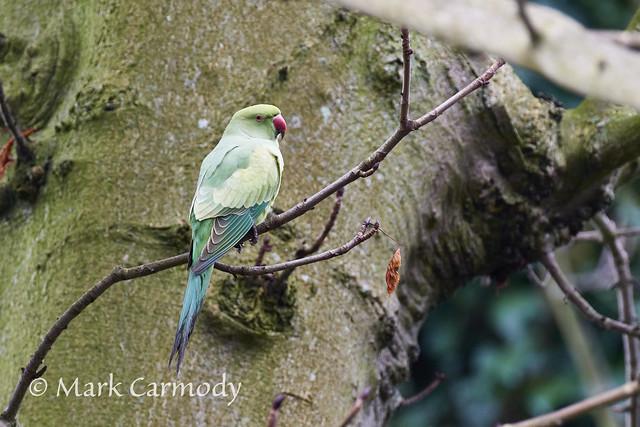 Rose-necked Parakeet (Psittacula krameri)