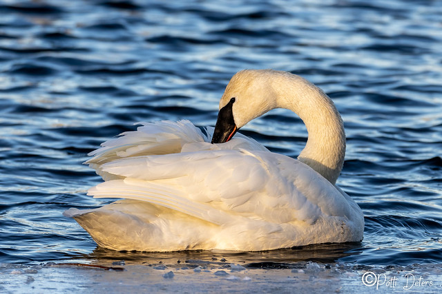 Trumpeter Swan Preen Feathers