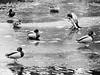 Ducks on the ice | February 15, 2021 | Bornhöved - Segeberg District - Schleswig-Holstein - Germany