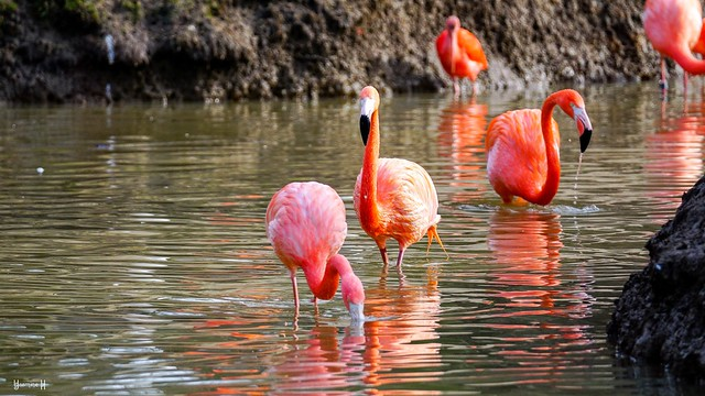 9462 - Flamingoes