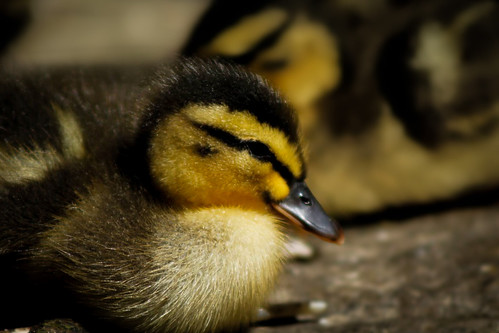 Quack! Baby ducks spotted around preston | by contact.pixelshed