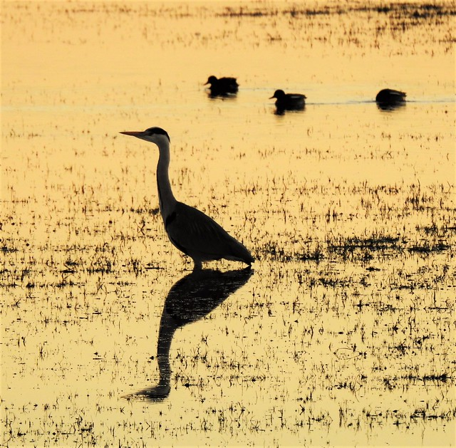 Heron and Ducks - Silhouette at Sunset