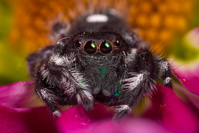 Male Regal Jumping Spider-2