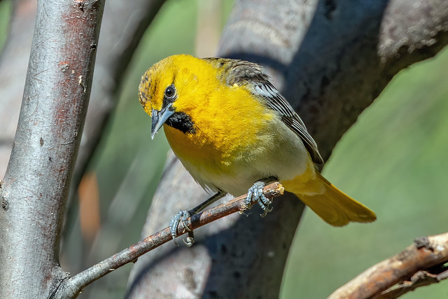 Bullock's Oriole (first year male)