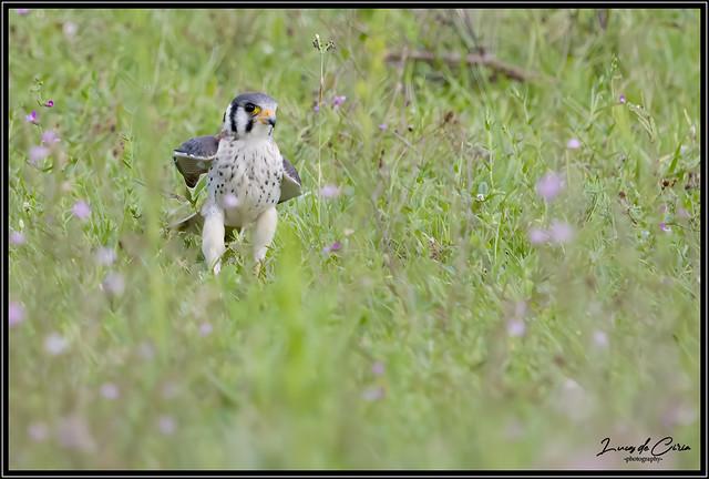 Halconcito Colorado, American Kestrel (Falco sparverius)