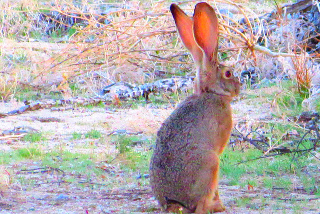 Jackrabbit waits
