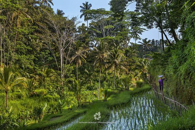 Tegallalang Rice Paddy Fields, Bali
