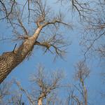 Green Ash Canopy