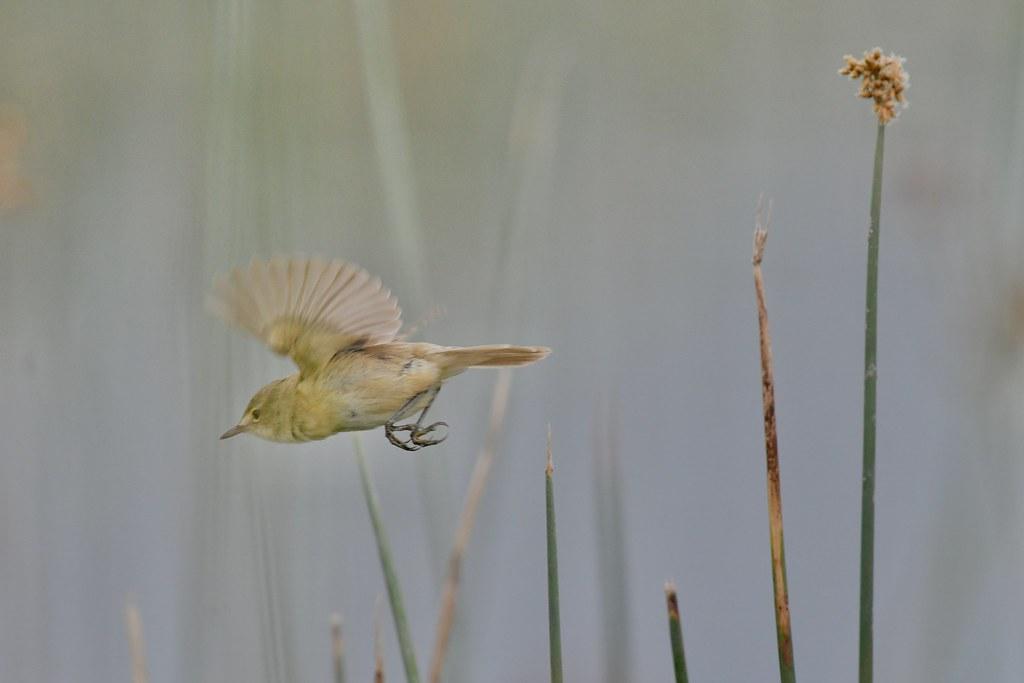 Australian Reed- Warbler