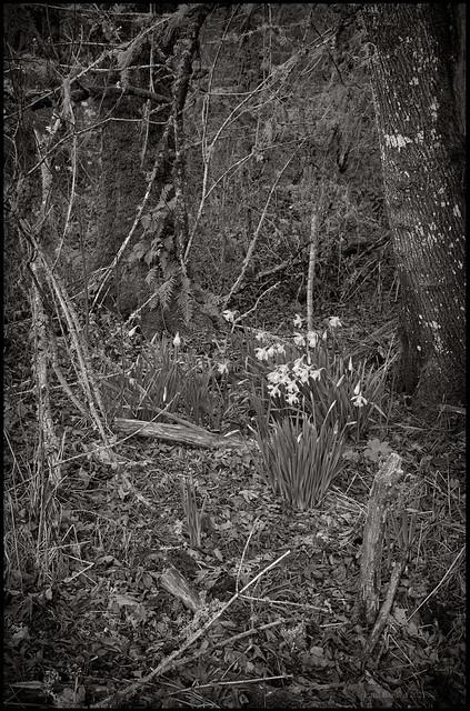 First Daffodils.jpg