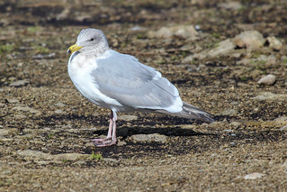 Glaucous-winged Gull | by dmcmillan39