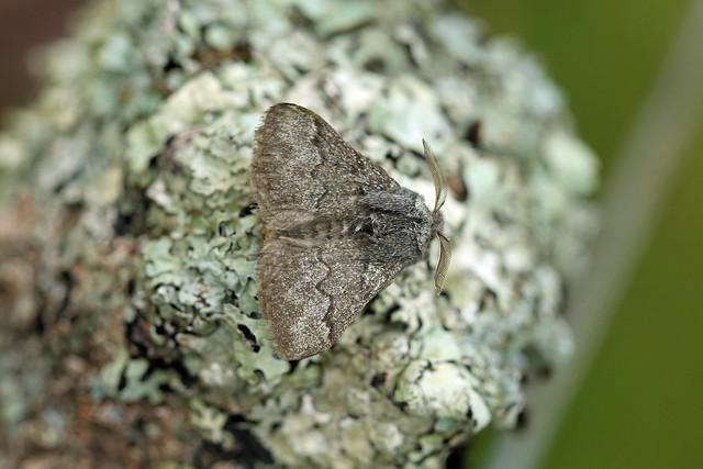 66.002 Pale Eggar (Trichiura crataegi), Trinafour, Perthshire