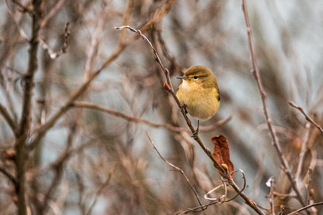 Chiff Chaff at Winter