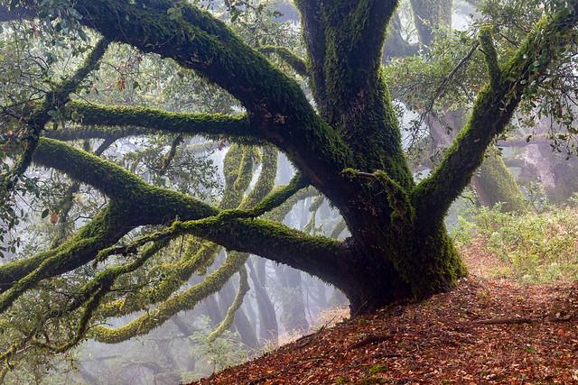 Mossy Live Oak
