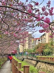 Mobile photography(手機攝影作品):Cherry blossoms at the River of Hope, Tucheng District, New Taipei City, Taiwan(台灣新北市土城區希望之河櫻花)