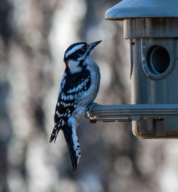 Downy Woodpecker at the Feeder