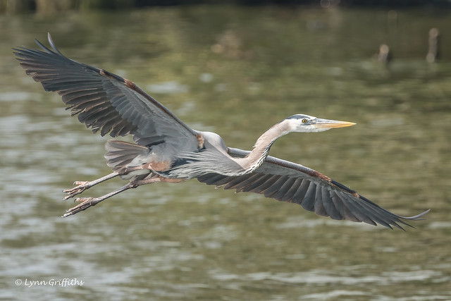 Great Blue Heron 502_5878.jpg