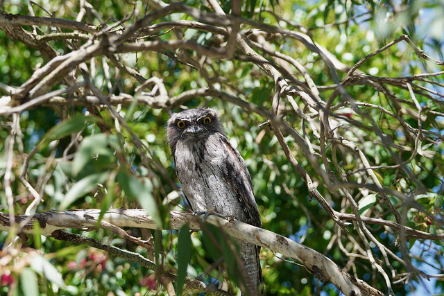 Tawny Frogmouth in flowering gumtree