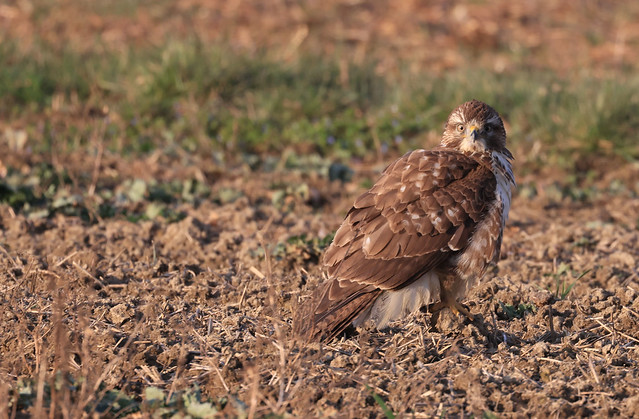 Buse variable - Dompierre/Fribourg/CH_20210214_004-1