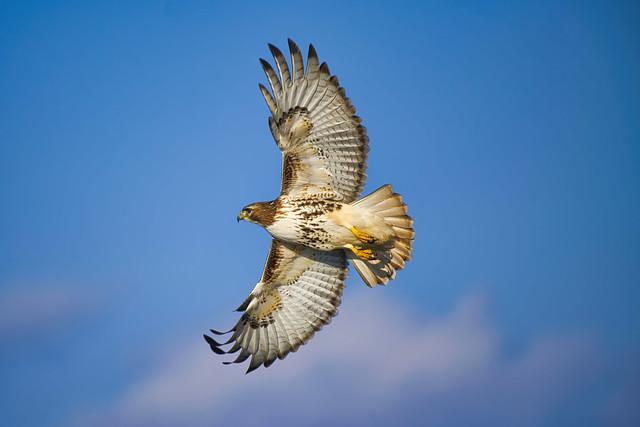Red-Tailed Hawk in Flight_8508382