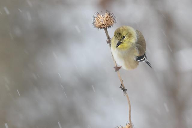 Snow Goldfinch