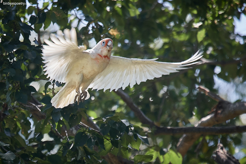 Long-billed Corella: Here I Come