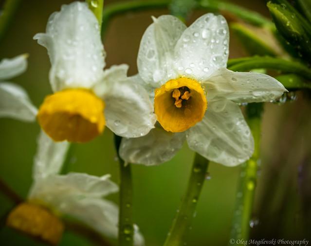 Narcissus tazetta after the rain