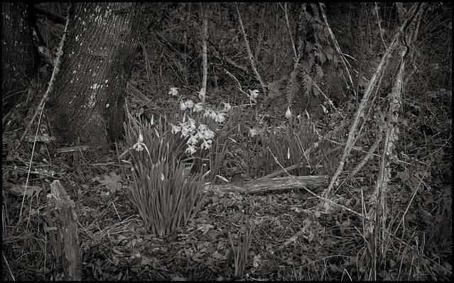First Daffodils2a.jpg
