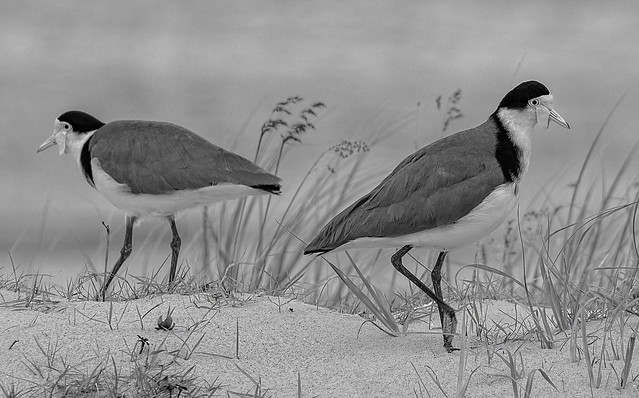 pair of masked lapwings