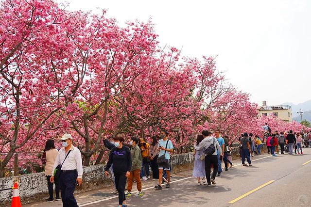 台中新社櫻花林秘境