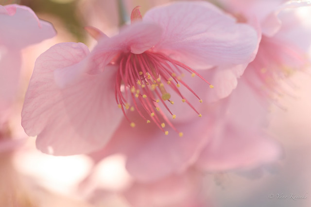 Early cherry blossoms / 河津桜