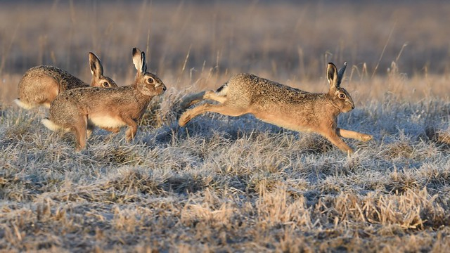 Suffolk Brown Hares