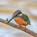 Kingfisher -202102271865.jpg