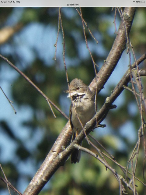 Common white throat