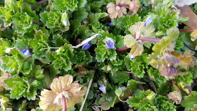 Purple Ground Cover