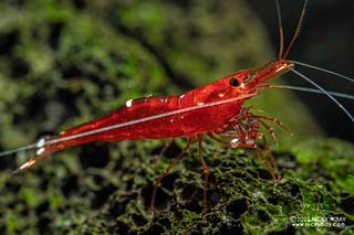 Red tri spot shrimp (Caridina sp.) - P2275063
