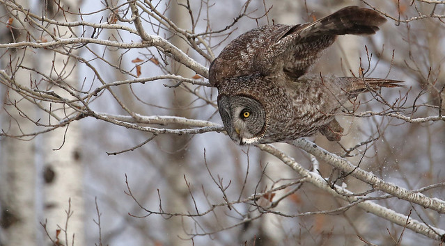 Great Gray Owl...#34