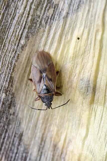 Brown milkweed bug sitting on old leaf