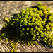 I think this is Bruch's Pincushion - Ulota bruchii