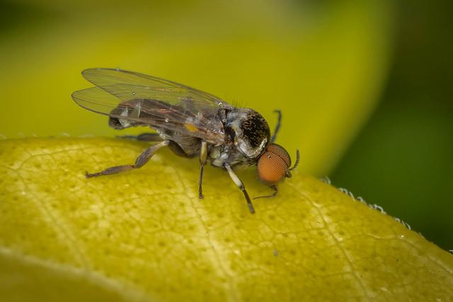 Simuliid (Blackfly)